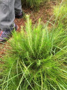 Matriz de Pinus, uma árvore híbrida de 2 espécies de Pinus